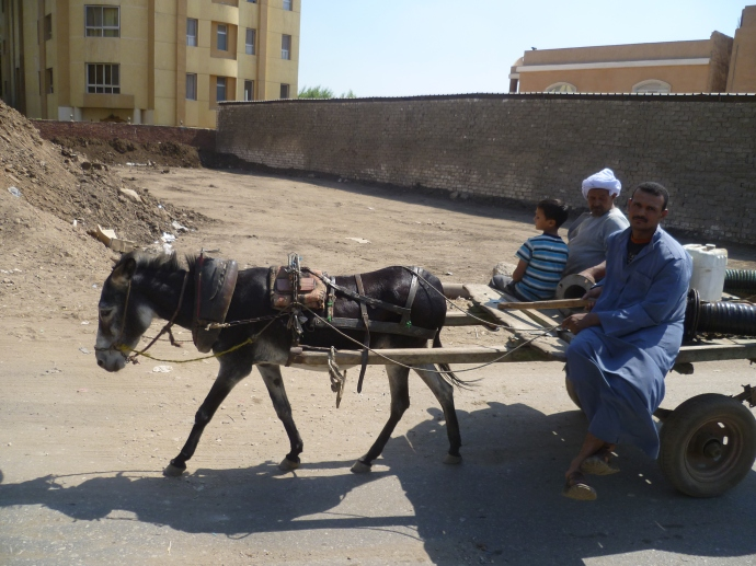In Egypt it's common to see donkeys used as basic transportation.