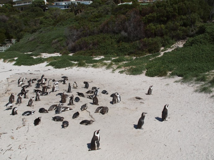Did you think penguins only live on ice and snow? Here are some African penguins on Boulders Beach in Cape Town.
