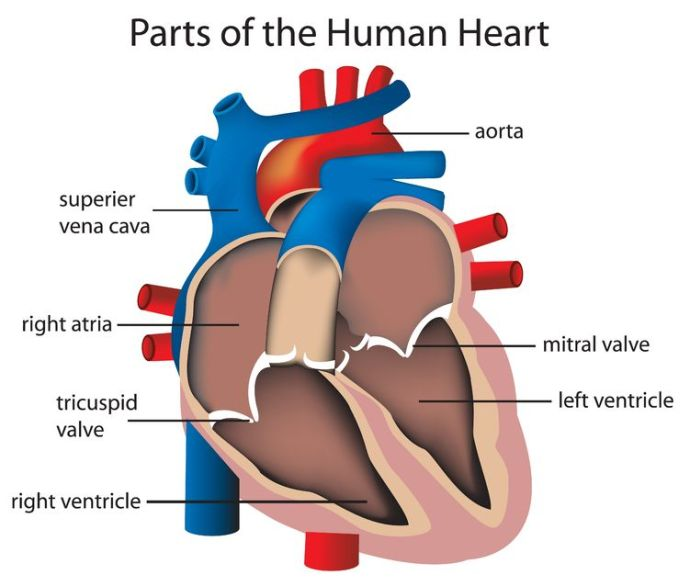 The mitral valve -- the part of my heart that has malfunctioned -- can be seen on the right of this diagram.