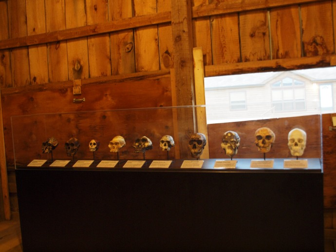 Replicas of the skulls of hominid species that preceded homo sapiens.