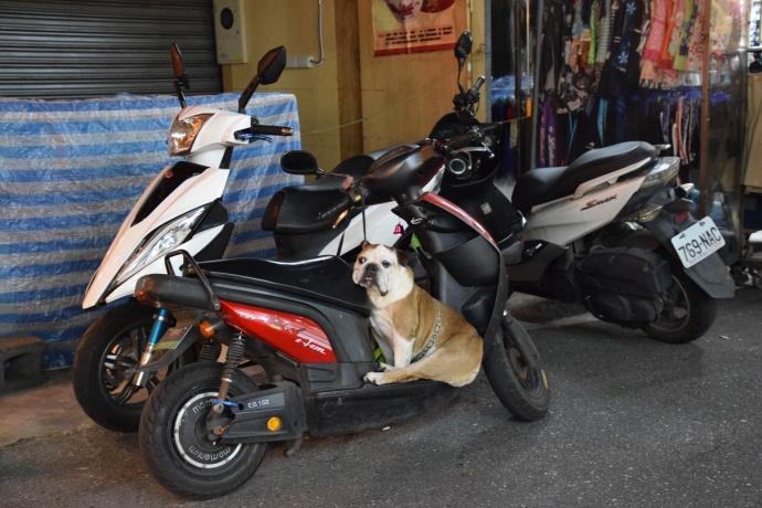 A dog guarding its human companion's motorcycle while said human shops at the night market.
